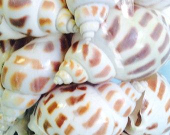 "Seashells - 3 Babylonia Spirata Shells - Brown and White 2"" - 2.25"" - craft shells/wedding shells/bulk shells"