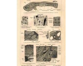 1894 SKIN PRINT original antique medical anatomy lithograph - A