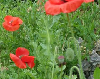 Fine Art Photo of Poppies