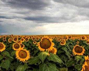 Sunflower Photograph, Sunflower, Storm Photography, Summer Sunflower, Summer Sunset, Summer , Colorado, Yellow, Blue, Grey