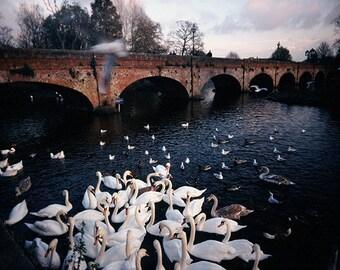 Swans art print Idyllic landscape photography english blue large wall decor 16x24