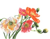 Poppies watercolour painting - P5115 - A4 print poppies print - botanical art - flower painting - flower print - summer decor