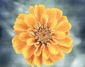 """Golden Yellow Flower Photography, orange zinnia photo, gold floral art print, blue nature wall decor, modern botanical art, """"August Beauty"""""""