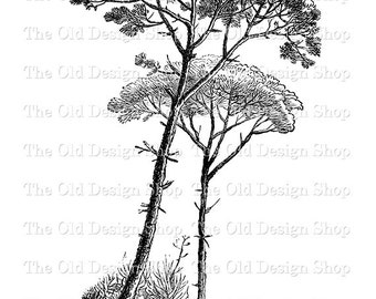 Pine Tree Clip Art Printable Botanical Vintage Image Digital Download Transfer Image PNG JPG