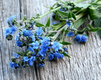 Forget Me Not Seeds Chinese Forget Me Not Cynoglossum amabile Firmament Heirloom Seeds