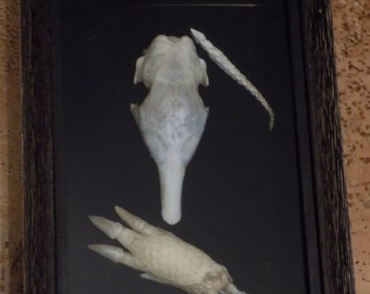 Armadillo Real Bones Animal Oddities