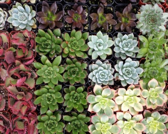 Succulent Plant. Assortment for 70 Succulent Plants