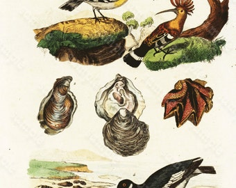 Antique Original  Natural History Hand Colored Print  Huitres- Huitrier- Huppe - Gorgeous from HISTOIRE NATURELLE