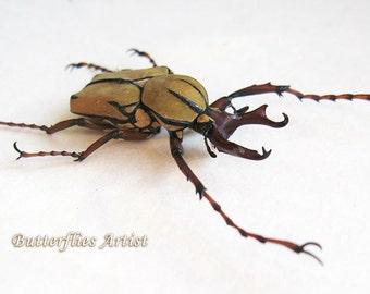 Real Reindeer Beetle With Unusual Horns Dicranocephalus Wallichii Museum Quality In Display