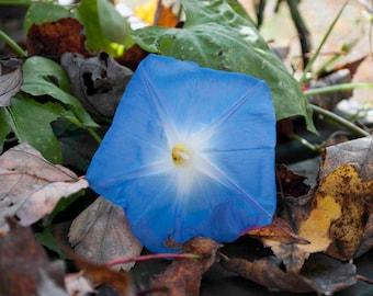 Morning Glory Blue Summer Fall Flower Photograph Print