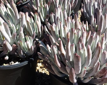 "Mature Succulent Plant Cotyledon White Sprite  White ""fingers"" with deep purple tips  Perfect in drought tolerant landscape garden"
