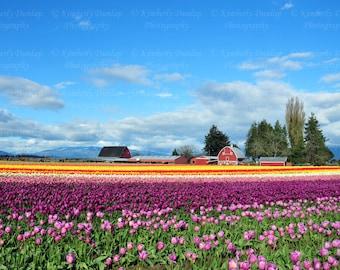 Fine Art Tulip Field Photograph {Flower Blossom Photo, Red Barn Print, Floral Photography Picture, Landscape, Nature, Farm, Yellow, Purple}