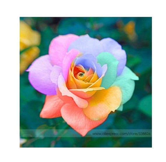 50 light rainbow cream rose seeds perennials by naturalwaves for Growing rainbow roses from seeds