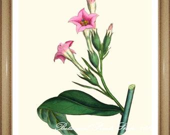 "Botanical Print. Pink flower print. Tobacco Plant. Pink Flowers. 8x10"""