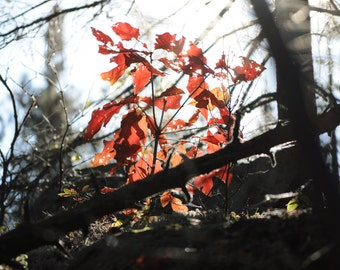 Fall Foliage, Autumn Leaves, Late Fall, Nature Photography, Stock Nature, Red Leaves, Decay, Changing Colors, Fall Colors, Red, Wall Art