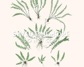 Vintage Botanical Fern Print Instant Download Make Your Own Art {Fern 40}