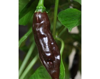 15 Seeds Chocolate Fatalii Pepper very Rare Heirloom fresh hot chili EXTREME