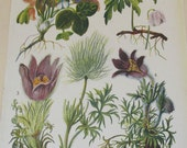 Antique 19th Century Italian Botanical Coloured Book Plate  Anemones  Ideal For Framing  XXIII