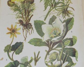 Antique 19th Century Italian Botanical Coloured Book Plate - Helleborus - Ideal For Framing # XXIV