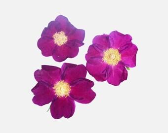 Real pressed flowers. Pressed Rose blossoms. Ramanas Rose pressed flowers.