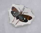 OVERSTOCK: Real Lanternfly, Saiva bullata