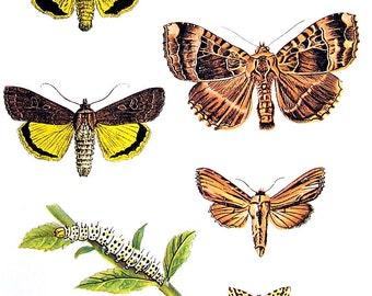 Butterflies Print  - Triphoena Butterflies - 1974 Vintage Book Page - World Butterflies Book - 10 x 8