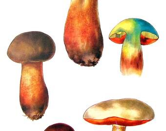 Mushroom Print - Species Boletus - Kitchen Decor - Food Decor - 1972 Vintage Book Print - 11 x 8