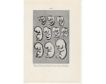 1934 HUMAN EMBRYO print original antique medical anatomy lithograph - 6 to 8 weeks