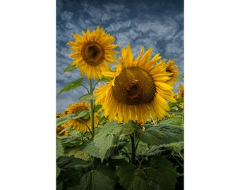 Radiant Sunflowers in Bloom near Rockford Michigan No.112 A Fine Art Yellow Flower Nature Photograph
