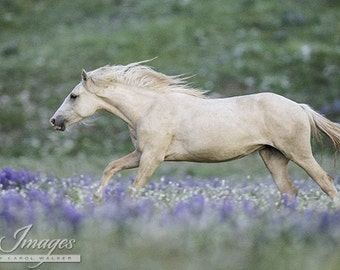 Encore Runs Through the Lupine - Fine Art Wild Horse Photograph - Pryor Mountains- Cloud - Wild Horse