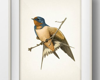Barn Swallow - BI-13 - Fine art print of a vintage natural history antique illustration