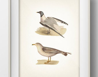 Birds (Seagulls) - BI-06 - Fine art print of a vintage natural history antique illustration.