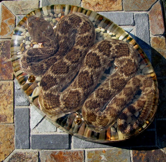 Rattlesnake Taxidermy Large Paperweight Acrylic Lucite Encased