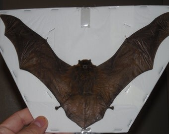 Miniopterus medius Spread Real Taxidermy Bat