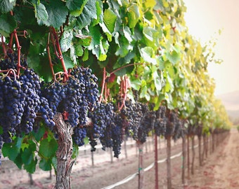 Harvest Time - landscape fine art print. vineyard fine art. winery fine art. california landscapes. vineyard photography