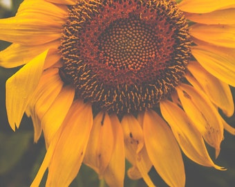 Photography, Sunflower Print, Nature Photography, Sunflower