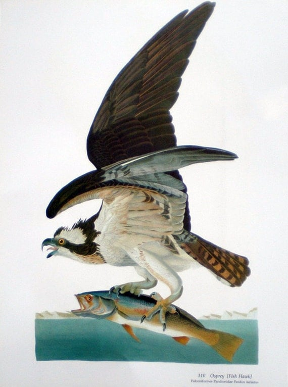 Fish hawk audubon bird book plate print by annesaccumulations for Fish hawk bird