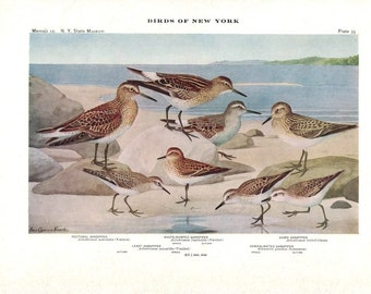 Pectoral, White-rumped, Baird, Least & Semipalmated Sandpiper. Antique Bird Print from 1911. Vintage Wall Decor. Original Vintage Print