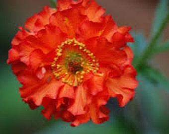 Geum Seeds, Geum Chiloense Mrs. Bradshaw, Perennial Flower, Used As Cut Flower