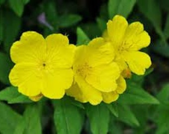 Evening Primrose Seeds, Oenothera biennis, Yellow Flower, Medicinal Herb, Reseeding Plant, Xeriscape Plant