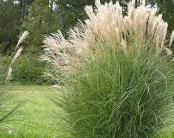 Dwarf white pampas grass seeds 50 count great smaller for Quick growing ornamental grasses