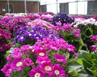 50 Seeds Cineraria Mix Very Colorful Flower Seeds Pericallis