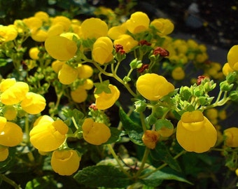500 Seeds Calceolaria Gold Purse ( Perennial )