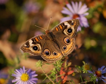 Buckeye butterfly, butterflies, insects, photography, wall art, home decor, print, nature photography, free shipping