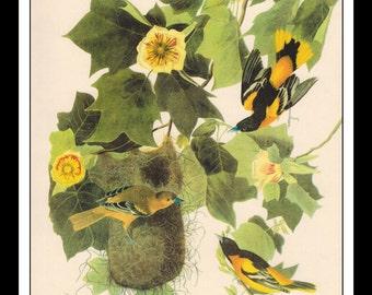 Vintage Book Print 1950's Audubon Bird Of America : Baltimore Oriole  Single Page Wall Art Decor Print