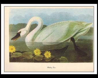 Vintage Book Print 1950's Audubon Bird Of America : Whistling Swan Single Page Wall Art Decor Print