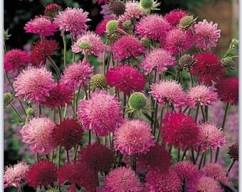 home garden plants 4 seeds Perennial Knautia macedonica 'Melton Pastels', Scabiosa rumelica,Macedonian Scabious,flower seeds