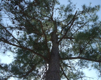 3 Loblolly Pine Tree Starter Plants