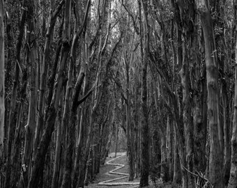 Black and white walk through the woods - trees forest pathway mystery photography