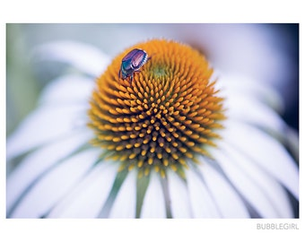 Nature Photography PRINT, Bug on a Coneflower, Wall Art